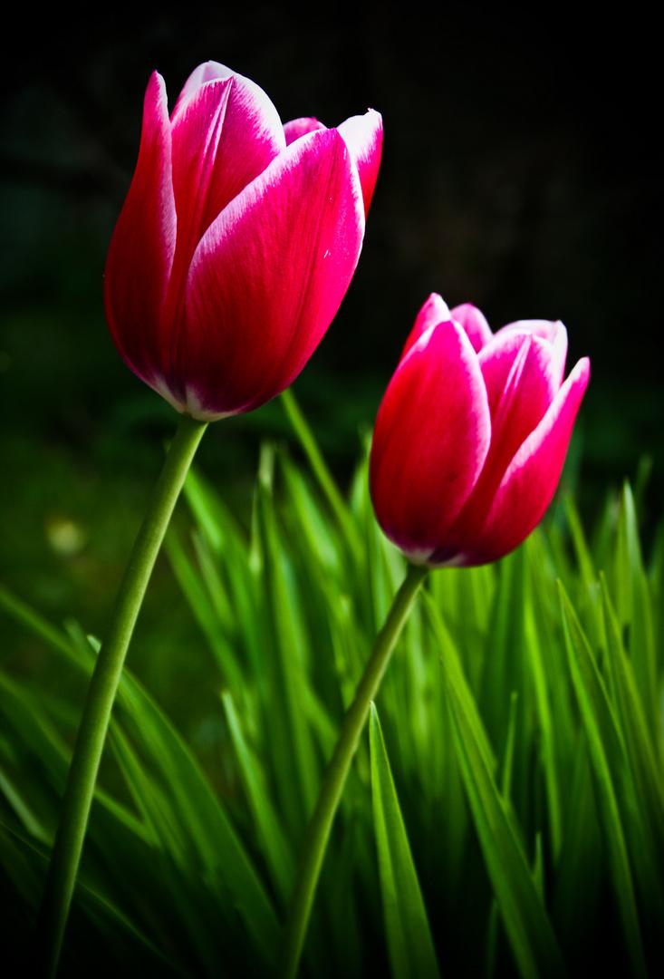 Tulipa da Esperanca