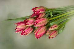 Tulipa humilis 'Persian Pearl' – Zwerg-Tulpe