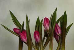Tulipa humilis var. pulchella 'Violacea Black Base'