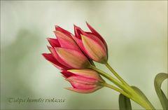 Tulipa humilis violacea...