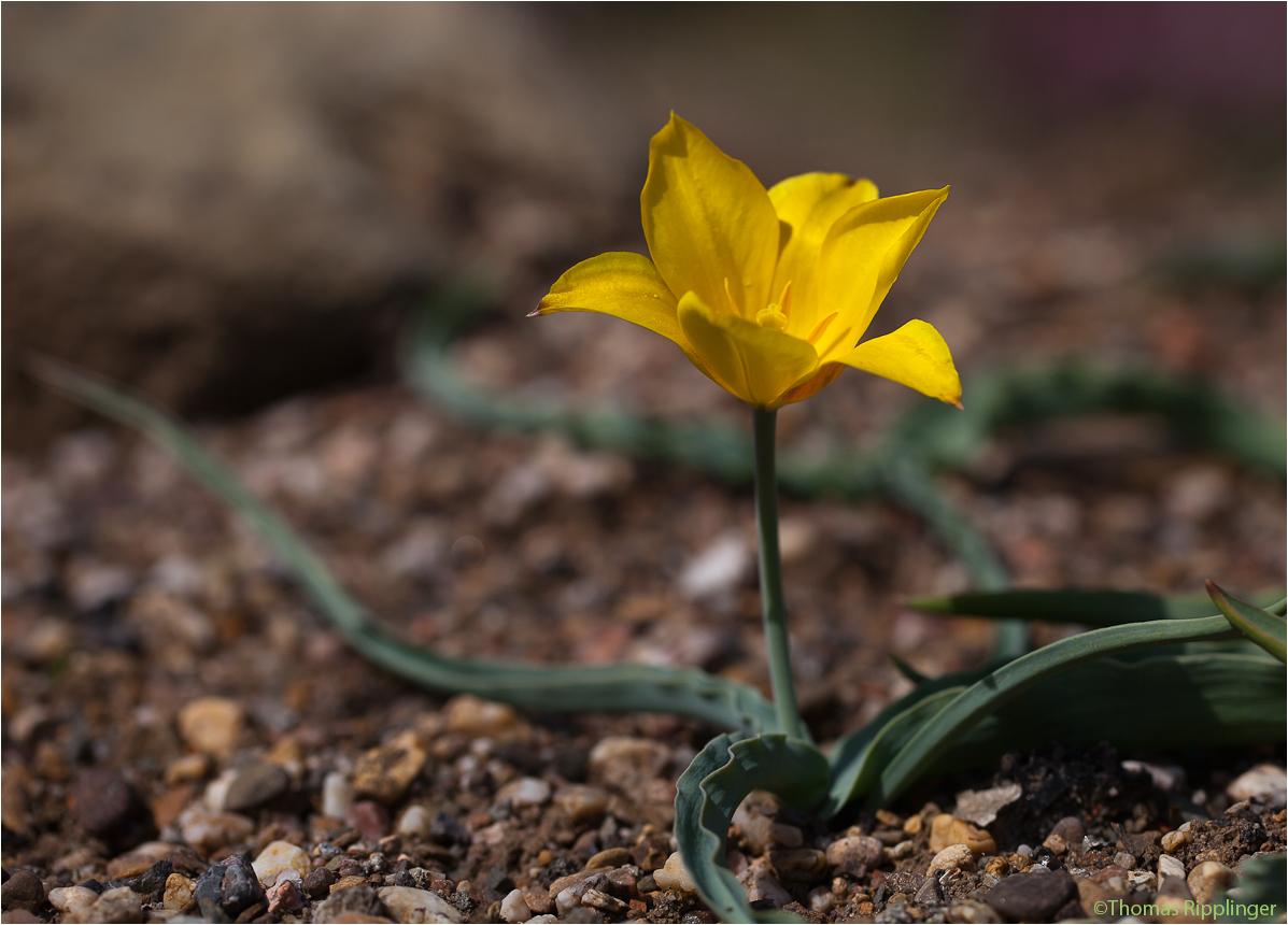 Tulipa kolpakowskiana (Wilde Tulpe)