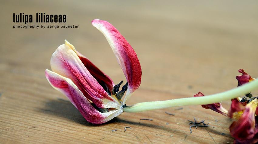 Tulipa Liliaceae 1#