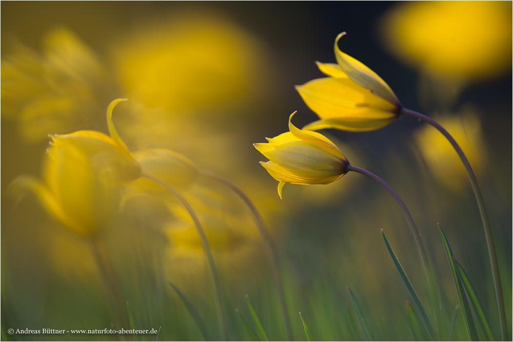 ~ Tulipa sylvestris ~