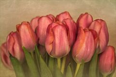 Tulipa ~ Tulpen...