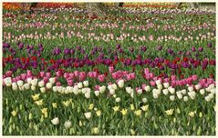 tulipan 10