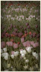 tulipan 11