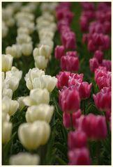 tulipan 12