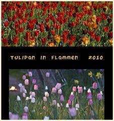 tulipan 13