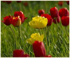 tulipan 14