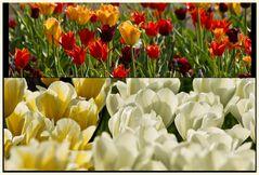 tulipan 15