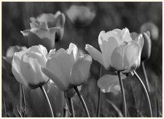 tulipan 16