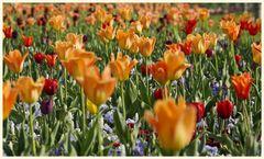 tulipan 17