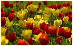 tulipan 18