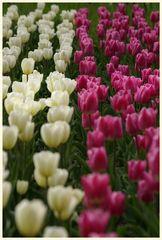 tulipan 19