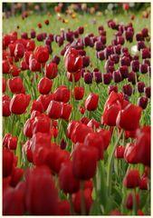 tulipan 20