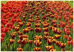 tulipan 21