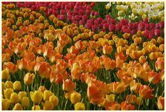 tulipan 22