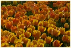 tulipan 23