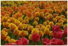 tulipan 24