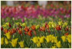 tulipan 25