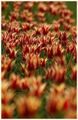 tulipan 26