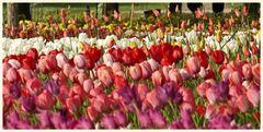 tulipan 27