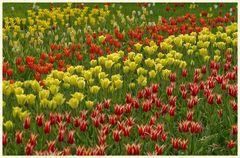 tulipan 29