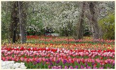 tulipan 30