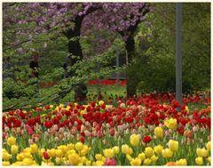 tulipan 31