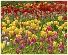 tulipan 32
