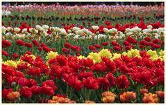 tulipan 33