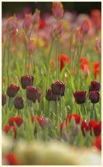 tulipan 34