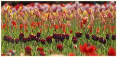 tulipan 35