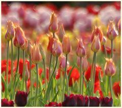 tulipan 36