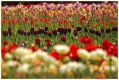 tulipan 37