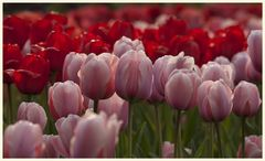 tulipan 38