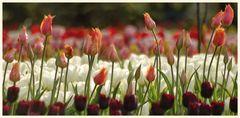 tulipan 39