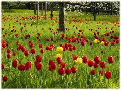 tulipan 4