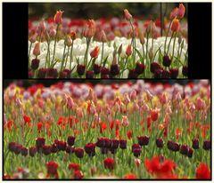 tulipan 40