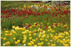 tulipan 41