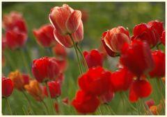 tulipan 42