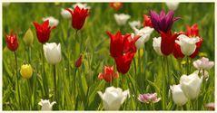 tulipan 43