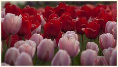 tulipan 44