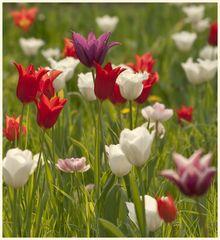 tulipan 45