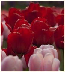 tulipan 46