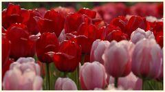 tulipan 47