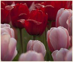 tulipan 48