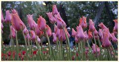 tulipan 50