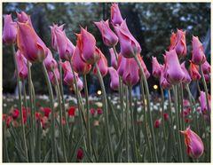 tulipan 51