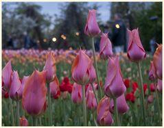 tulipan 52